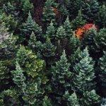 arboles coniferos