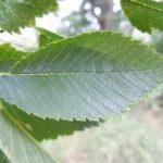 hojas aserradas